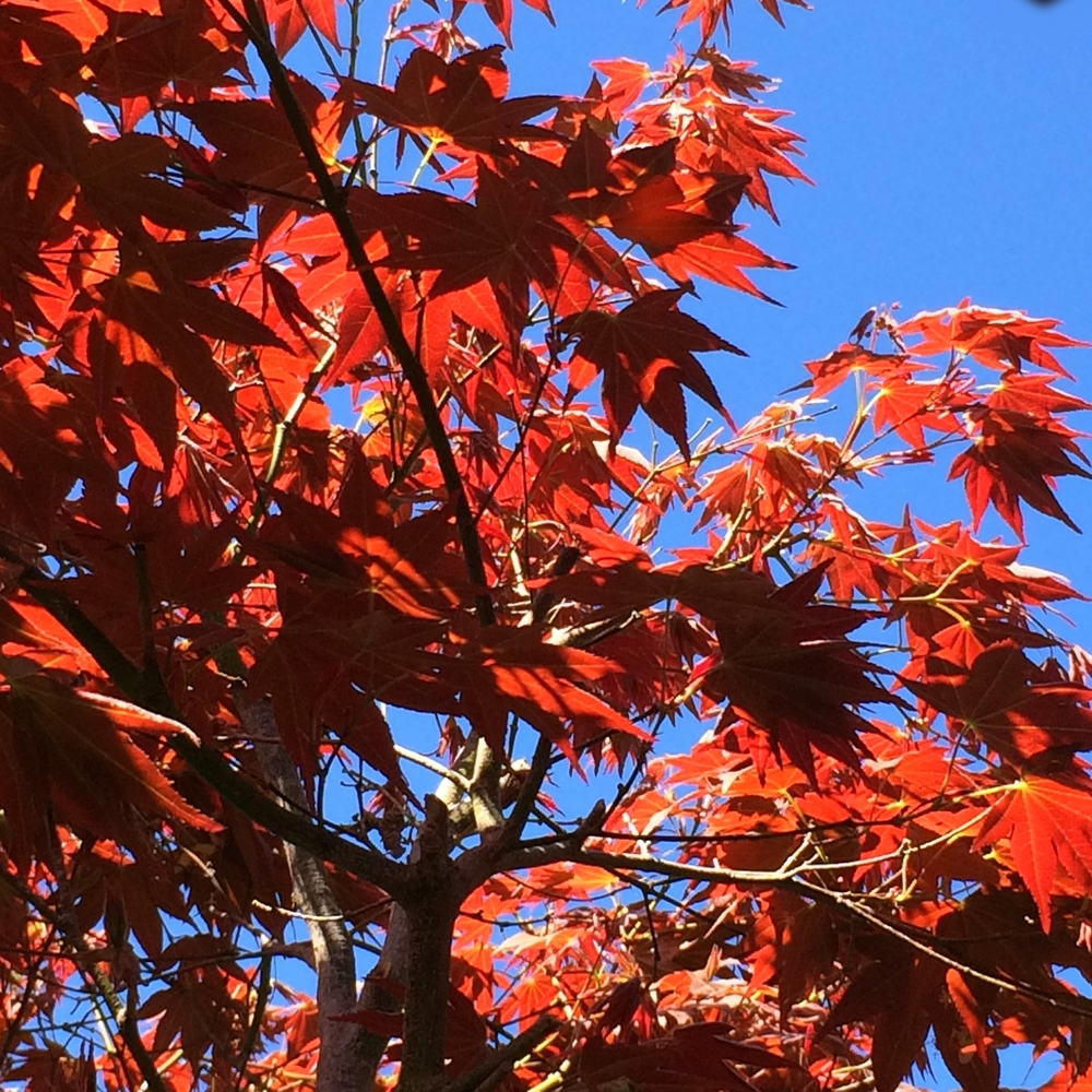 Japanese maple in the sunshine