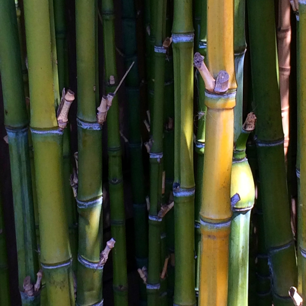 A bamboo grove in the garden