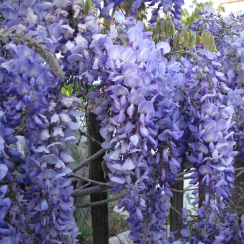 Wisteria in March