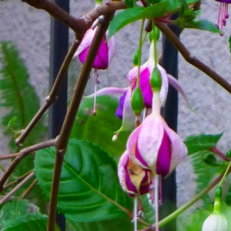Lovely fuschia blooms