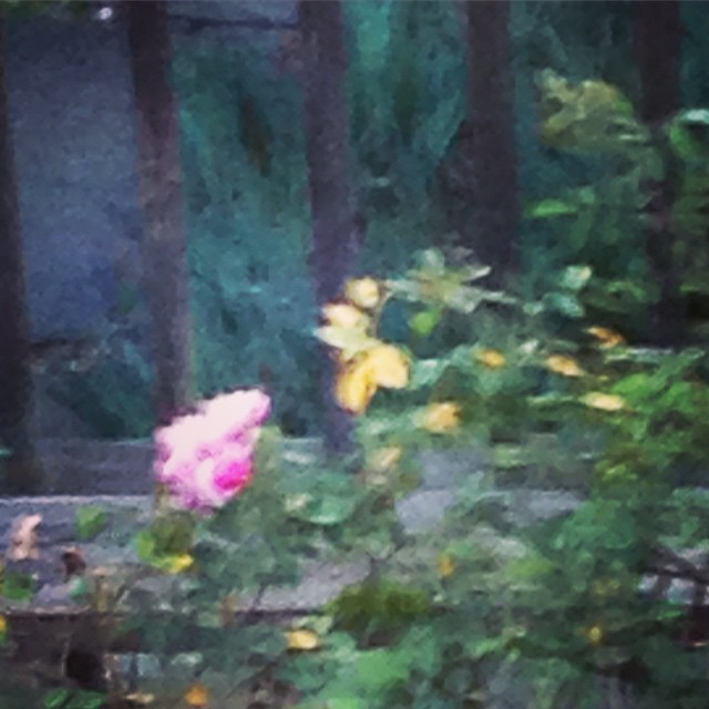 Twilight in the garden. #garden #rose #twilight
