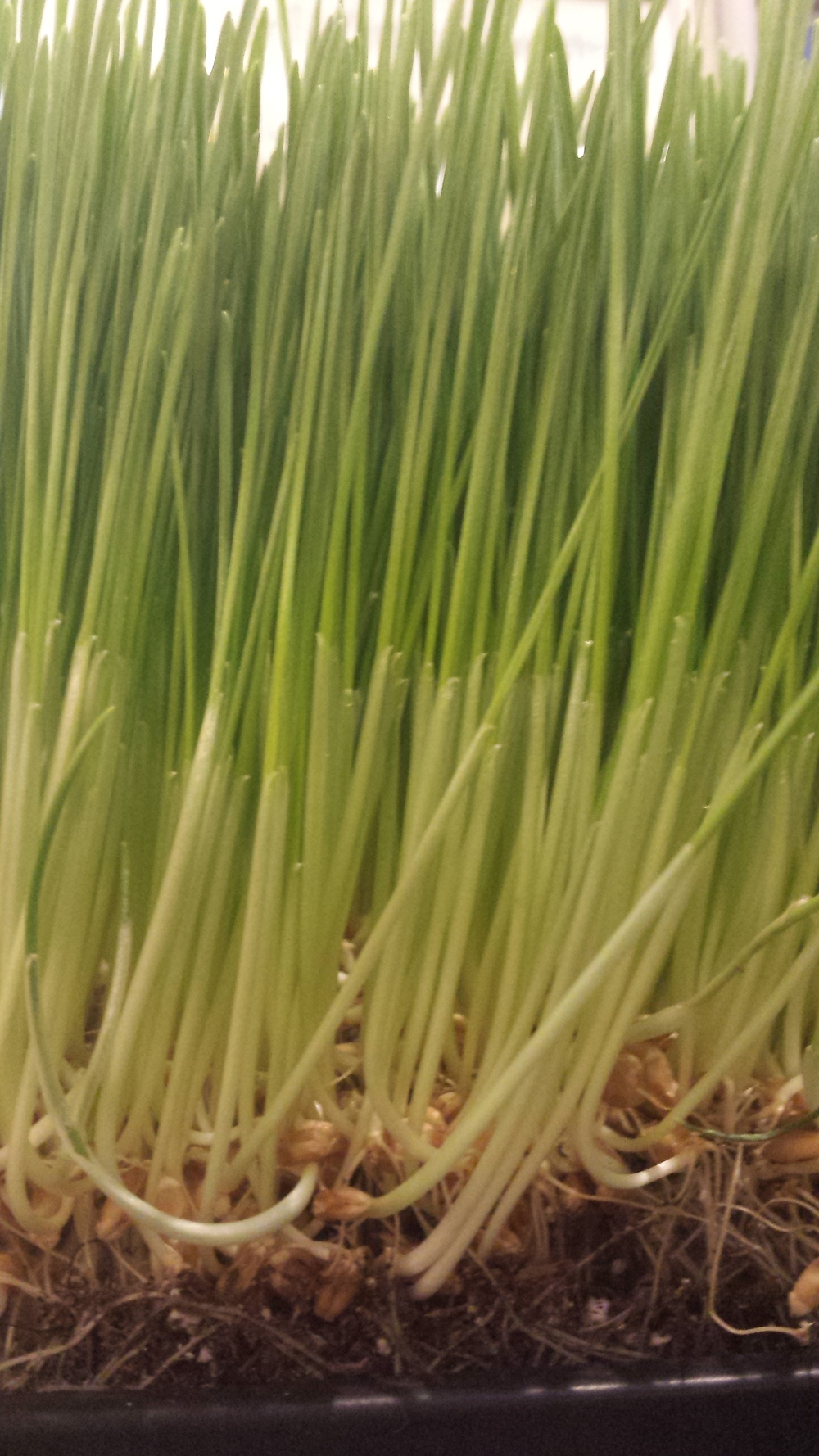 """Wheatgrass is the young grass of the common wheat plant Triticum aestivum Linn..."""