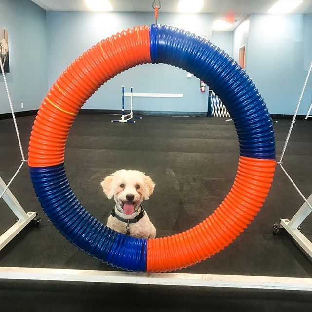 Helping Theo live his best life a private gym agility sesh at @zoomroomhuntington this morning!  It's been so long and it completely blew my mind how much he remembered! . On a side note 📝.... does anyone ever think about their dog dying some day in the distant future and legit start tearing up!? I mean, it's inevitable, I will outlive Theo, and the thought of being there with him while he takes his last breath breaks my heart. Like, why do I even go there!? Theo isn't even 4 yet...there are SO many more years to enjoy his presence! . Which then got me thinking, I have this huge fear about death.  I've never really experienced a major loss, and just the whole idea of death scares me.  I know logically it's not something to be feared and a natural part of life, but still.  I know this will have to be something I dive deeper into one day!  Until then, I'm just going to love Theo and be grateful for each day we have him here with us!
