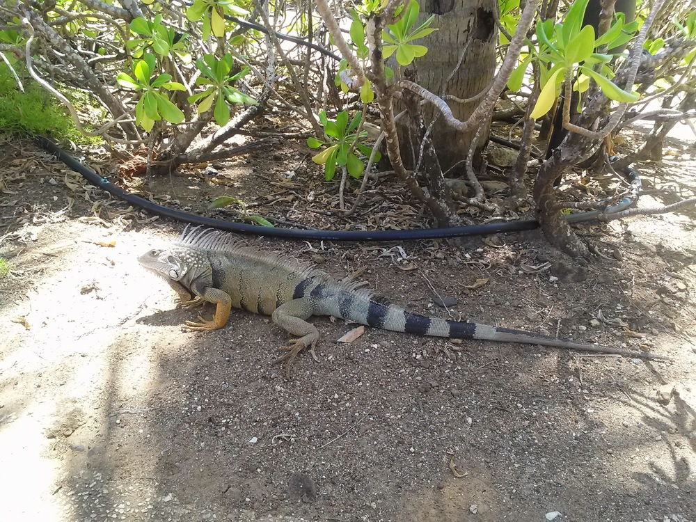 A free range, pasture-raised iguana?! More protein! ;)
