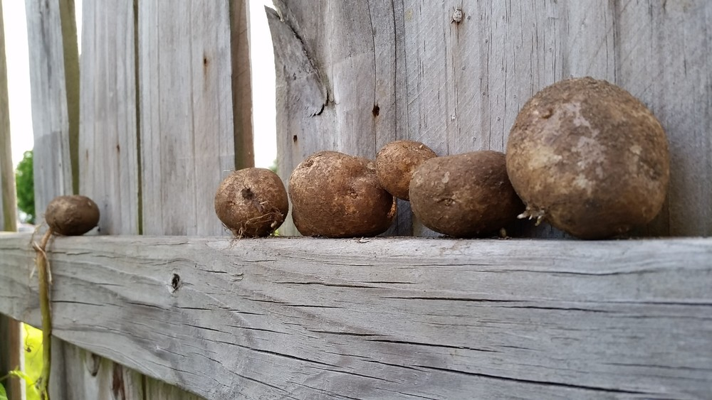 Volunteer potatoes!