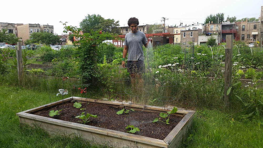 We bought reduced-price squash and transplanted to an additional bed. Here's Austin watering.