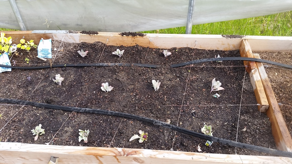 And finally, in one last bed in the greenhouse we planted cauliflower and broccoli.