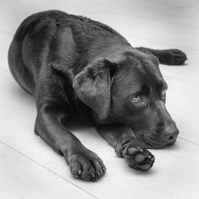 Hershey the bored dog. Photocredit to Marc Damulder @ Flikr