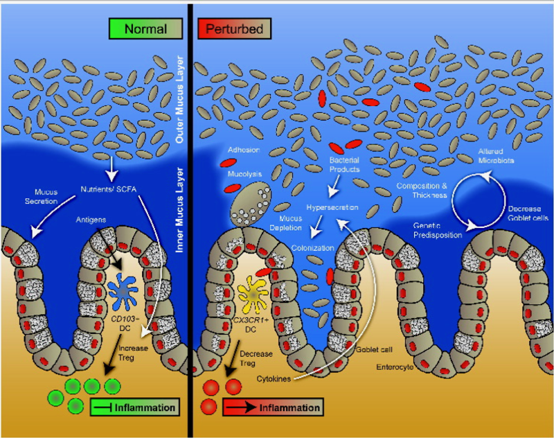 Image representing protective barriers of normal (on the left) and disturbed barriers (on the right). With healthy gut diversity and overallGI health then we are able to keep bacteria, pathogens and large food proteins away from the lining.  When these are too close then the immune system mounts an attack and increases inflammation pathways. These can also enter the blood stream and cause problems in the body - skin, headaches, muscle and joint aches, and auto-immunity