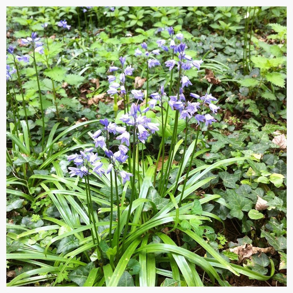 bluebells-93557_1280.jpg