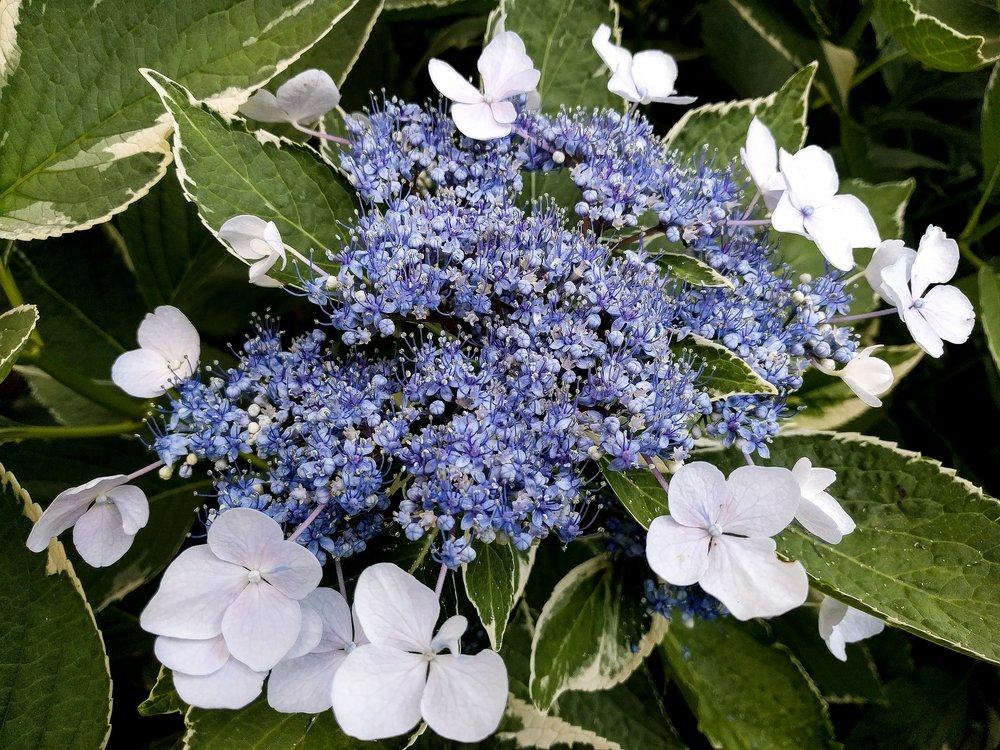lacecap hydrangea with varigated leaves