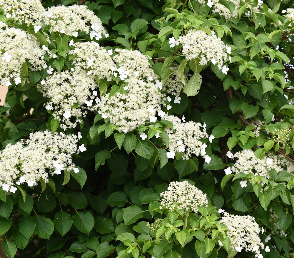 climbing hydrangea ( Hydrangea petiolaris)                                                                       Photo by FactoryTh/iStock / Getty Images