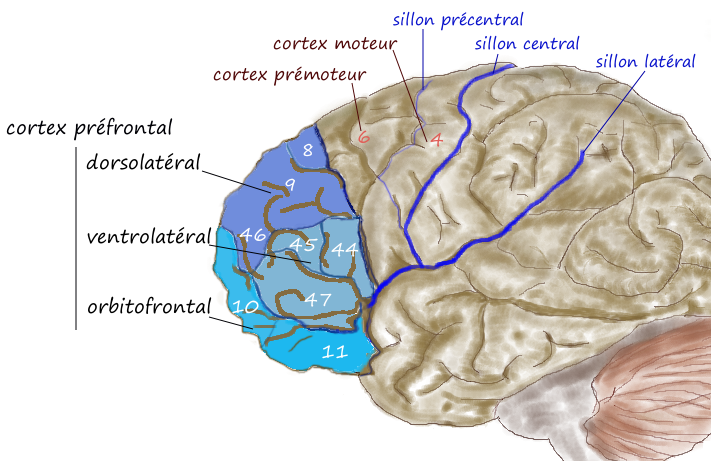 Prefrontal1.png