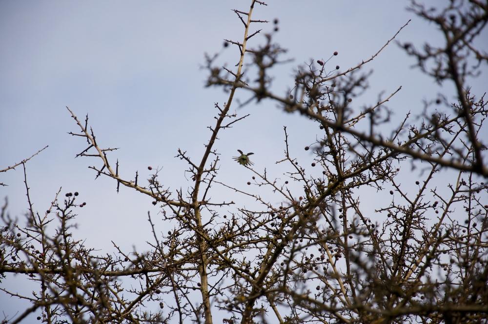smallswell-hummingbird-victoria