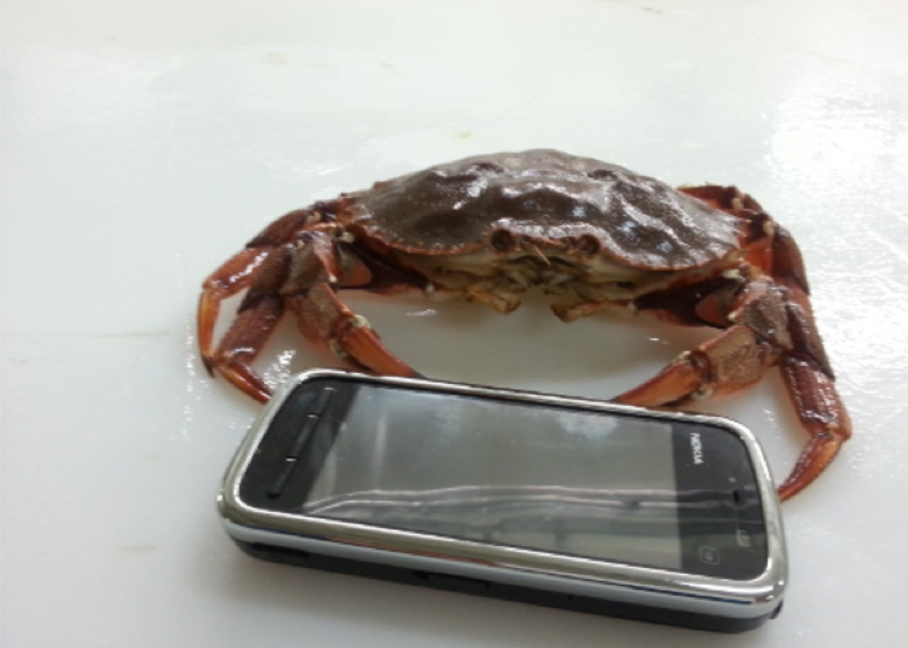 rock crab 5.png