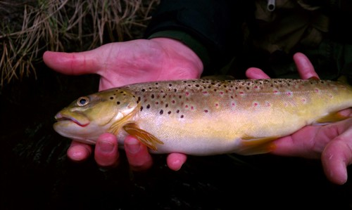 fly-factor-the-fly-factor-trout-night-fishing.jpg
