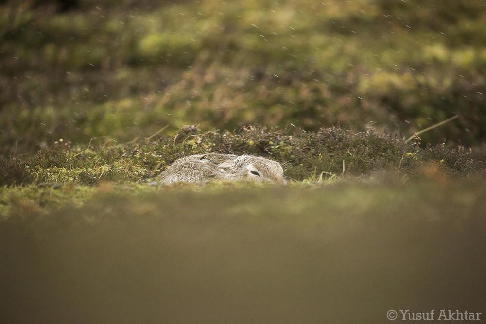 Hare In The Rain.jpg