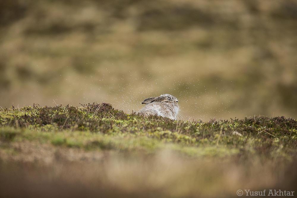Hare Shaking Off Rain.jpg