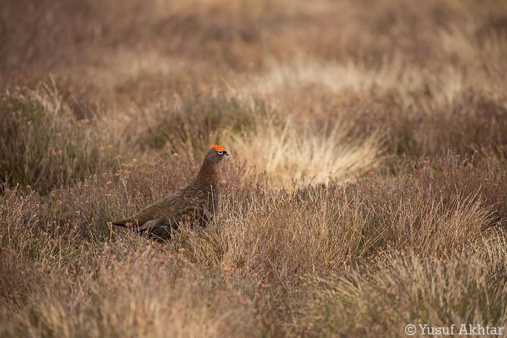 Red Grouse 1.jpg