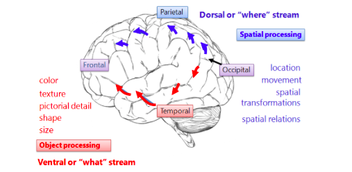 Image from: https://visionhelp.wordpress.com/2012/08/11/the-three-as-autism-aspergers-and-automobiles-part-5-visual-spatial/ventral-dorsal-stream/