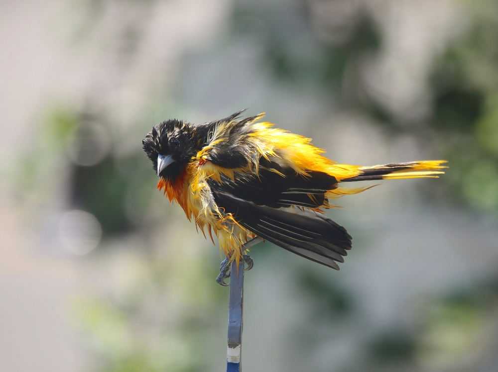 A male Baltimore Oriole freshly bathed from our bird bath out front.