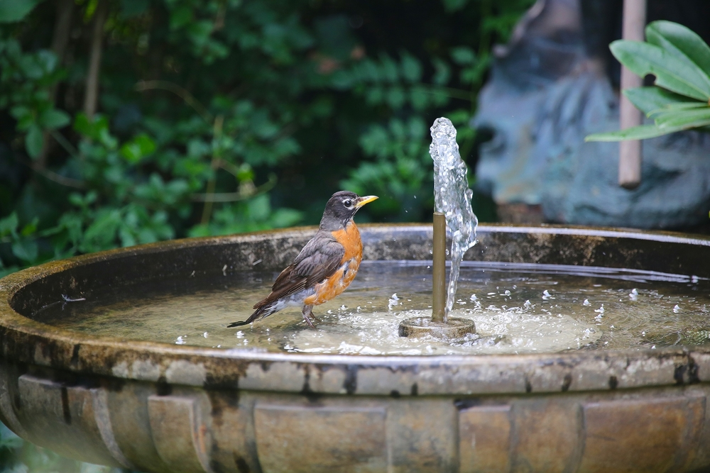 An American Robin having a little splash time.