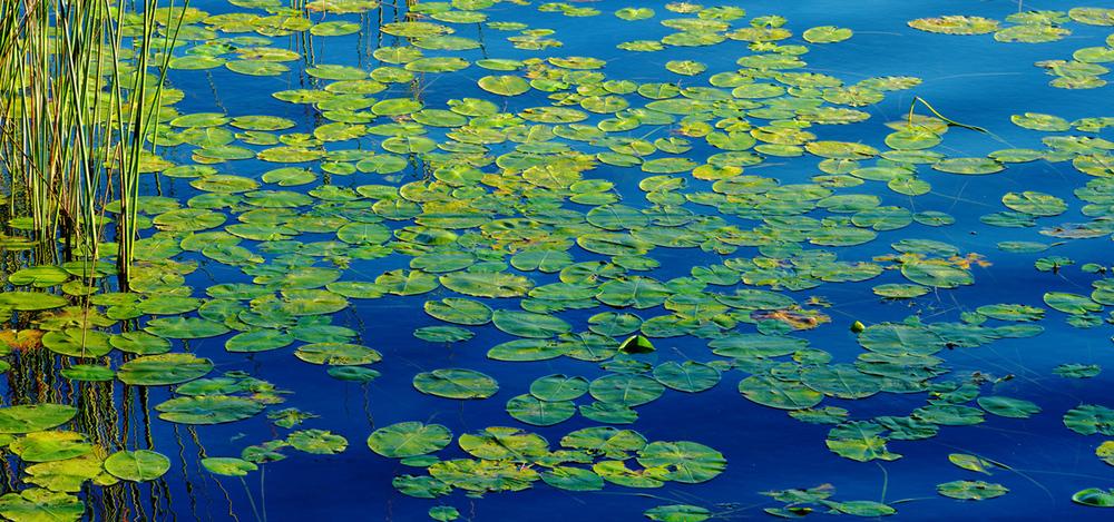 201208  water lilies leafs pan 2079 sh sRGB.jpg