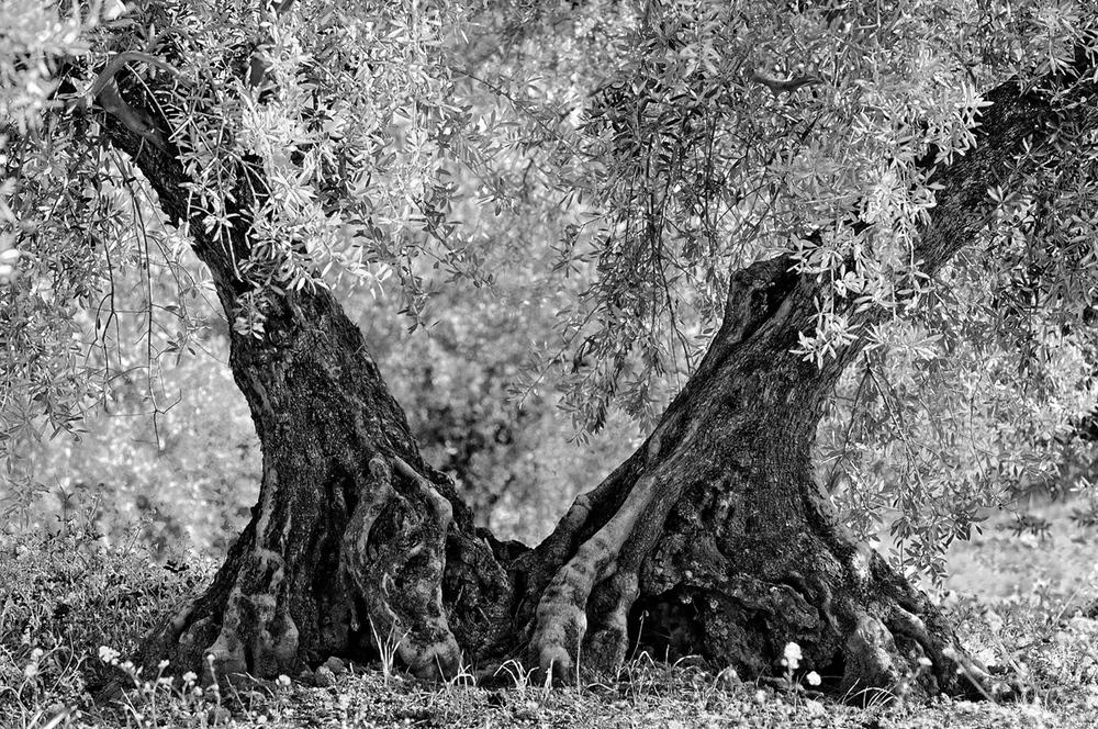 200803  Sierra Subbetica Olivenbäume 03 M sh sRGB.jpg