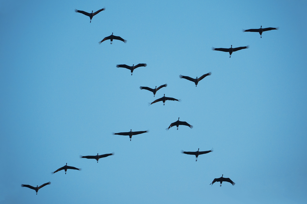 30x40  201210  crossing cranes 9379 sh sRGB.jpg