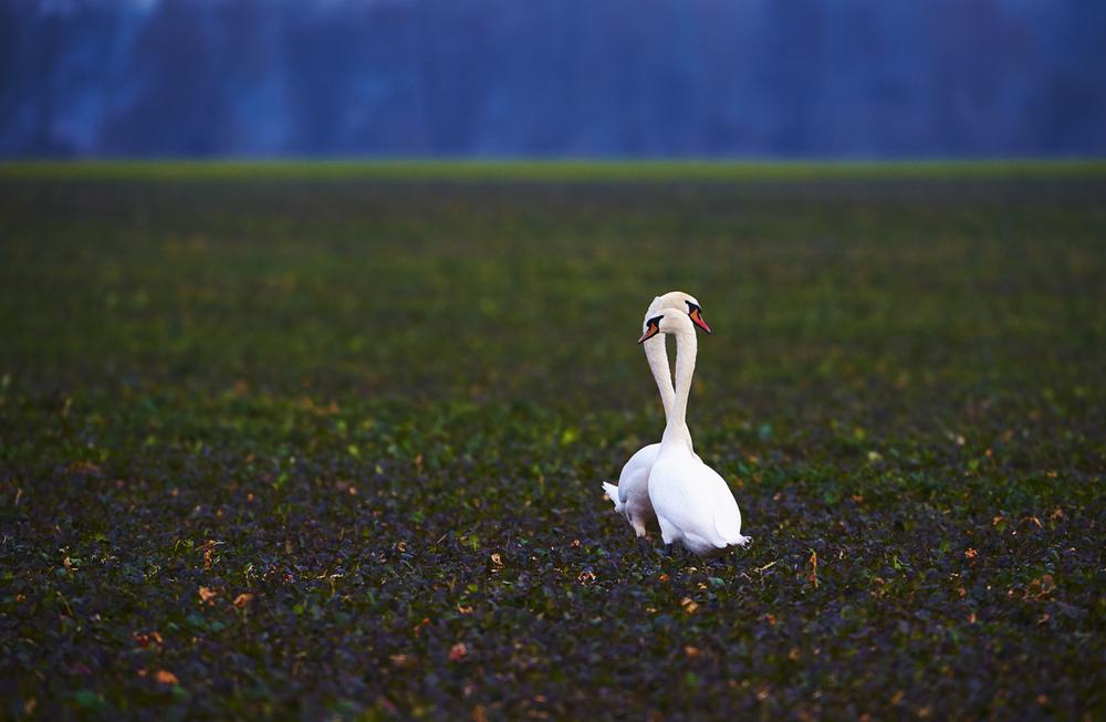 30x40  201503  swan love 6149 sh sRGB.jpg