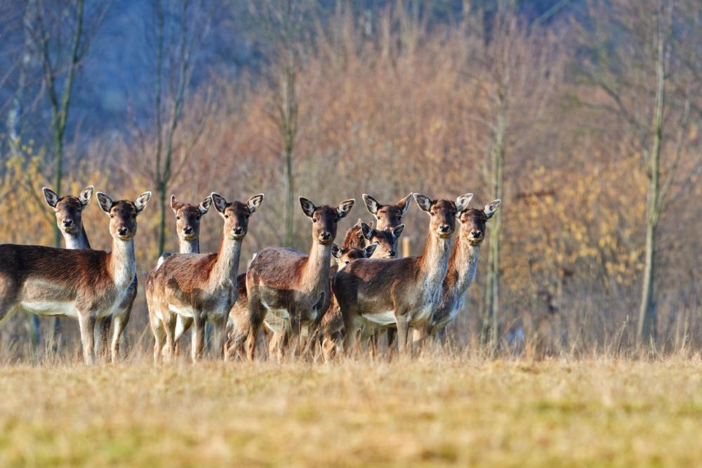 30x40  201402  herd fallow deer 9624 sh sRGB.jpg