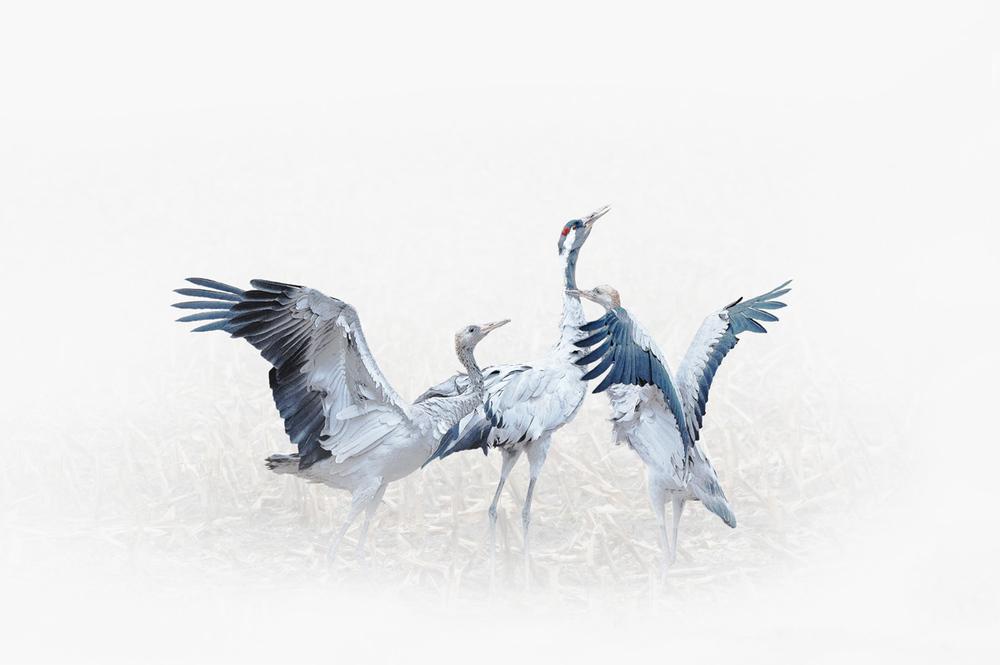 30x40--201110--young crane fight art 8191 sh sRGB.jpg