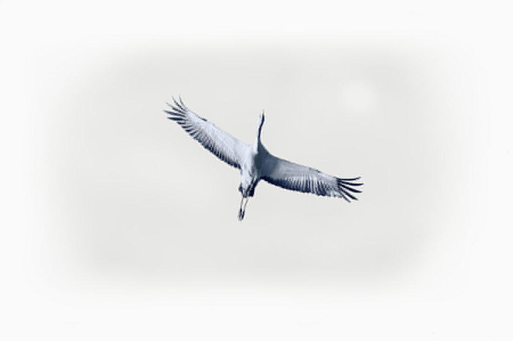 30x40  201309  crane solo art 5359 sRGB.jpg