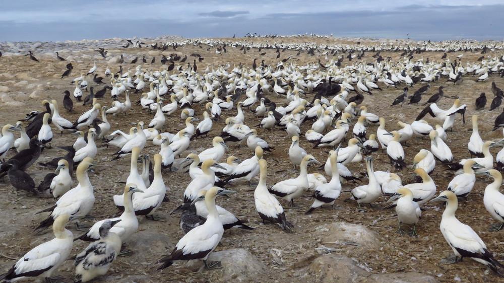 cape gannets, Malgas Island, South Africa