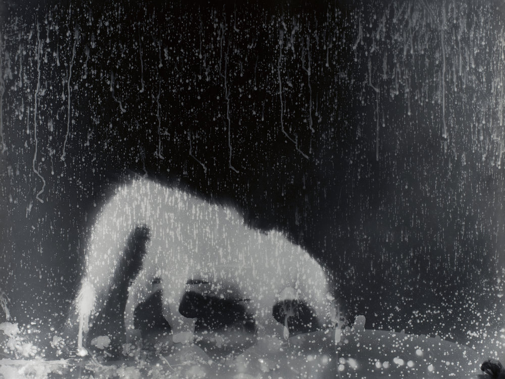 Working patiently on moonless nights, Zana collaborates with wild skunks, making exposures of them directly onto large sheets of photographic paper. These photograms are later developed in a traditional darkroom and toned with pure gold. The results are unique and magical photographic artworks.