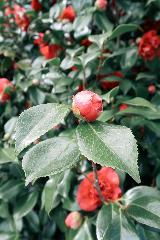 Camellia bud | Greenwich Strolls | Sundays and Somedays