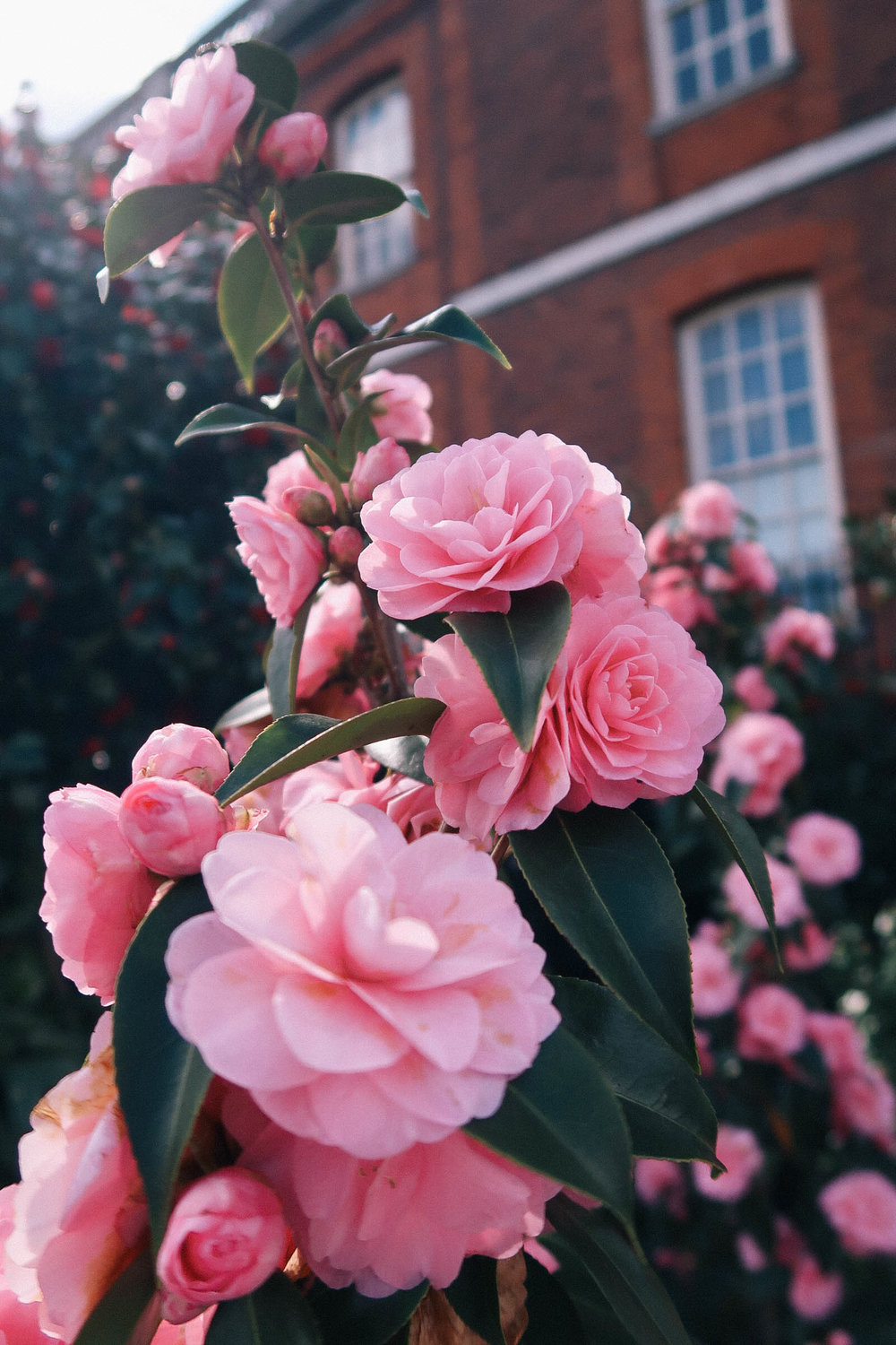 Pink camellia blooms | Greenwich Strolls | Sundays and Somedays