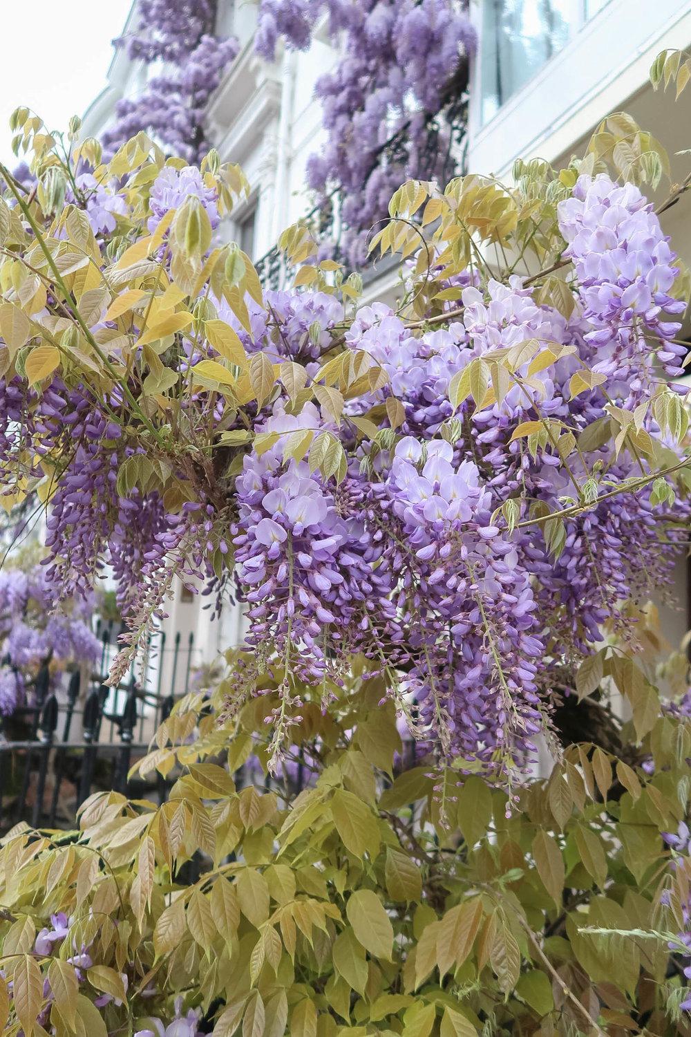 Purple wisteria blossoms in Notting Hill, London | Pink, Purple and Petals | Sundays and Somedays