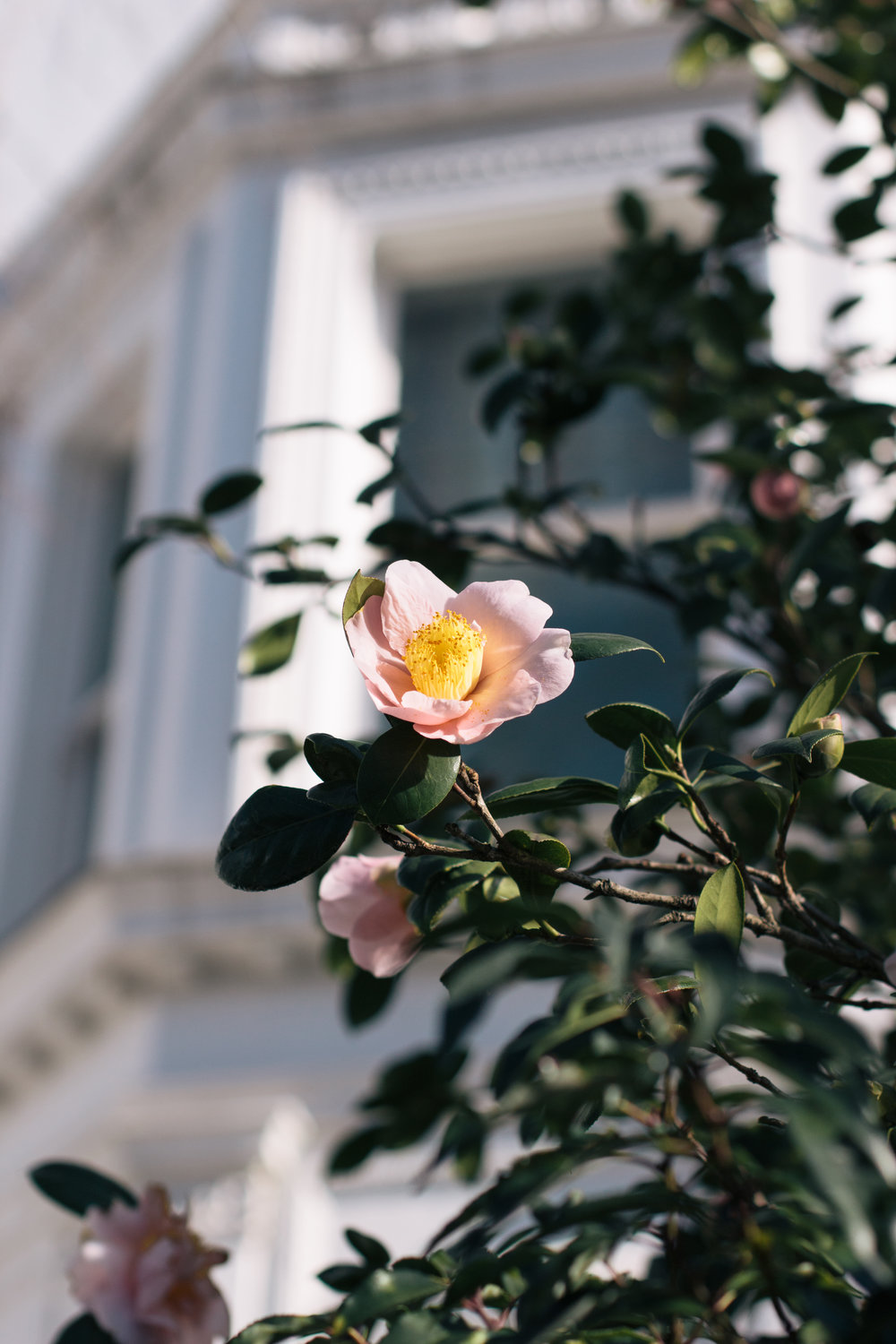 Is It Spring Yet? | A camellia flower blooms in Kensington,West London | Sundays and Somedays