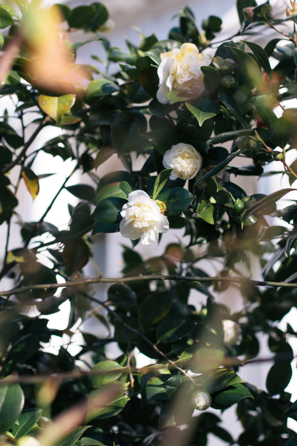 Is It Spring Yet? | White camellias blooming in front of a stucco townhouse in Kensington, West London | Sundays and Somedays