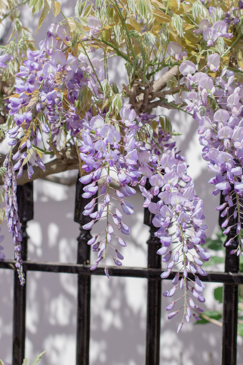 Where to find wisteria in London - the best wisteria hysteria house in Notting Hill | Sundays and Somedays