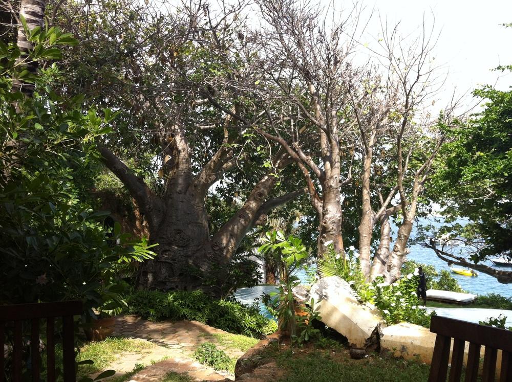 baobab trees, lamu island