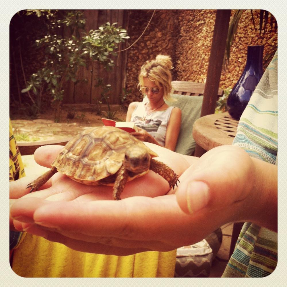 tortoise, lamu island, kenya