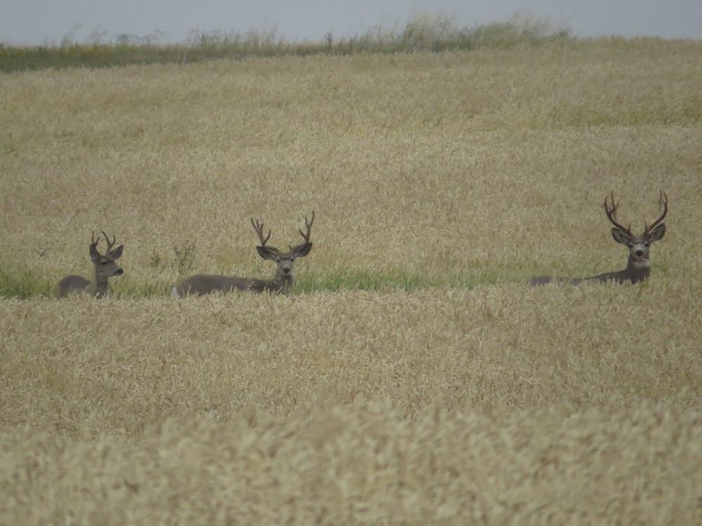 Mule Deer Bucks -Ken Orich (8/9/14)