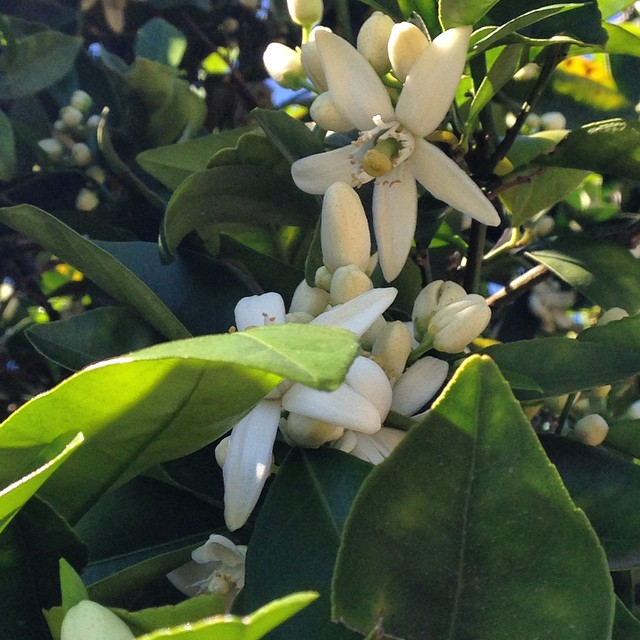 The smell of Orange Blossoms is in the air @ #RHR