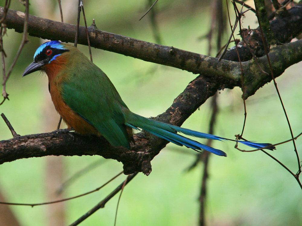 Motmot_bird_(Tobago_2009).jpg