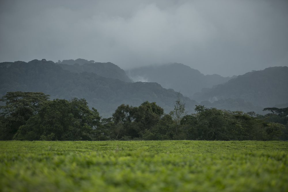 Tea Plantation, Nyungwe, Rwanda