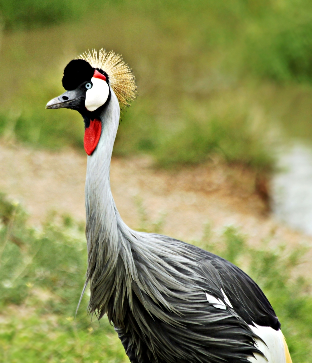 Grey_Crowned_Crane,_Serengeti_National_Park,_Tanzania_(2010).jpg
