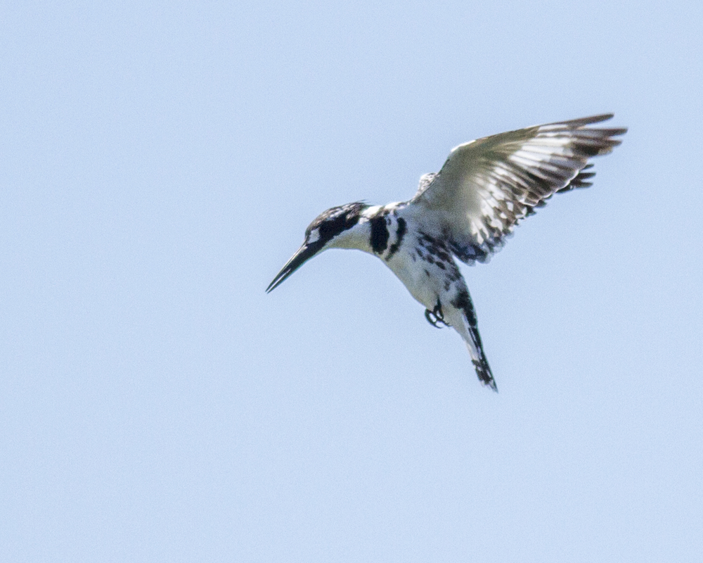 Pied_Kingfisher_in_hovering_in_Flight.jpg