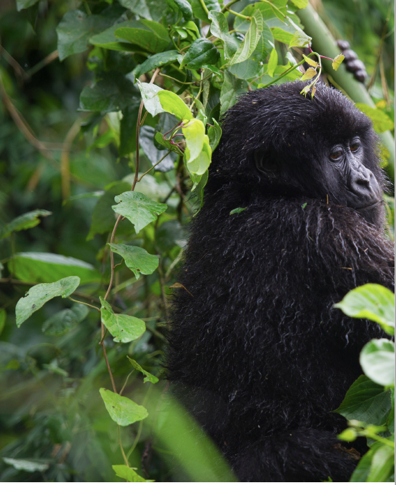 Gorilla by Gael R. Vande Weghe